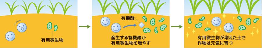 産生する有機酸(乳酸など)が有用微生物を増やし作物の成長をサポートする
